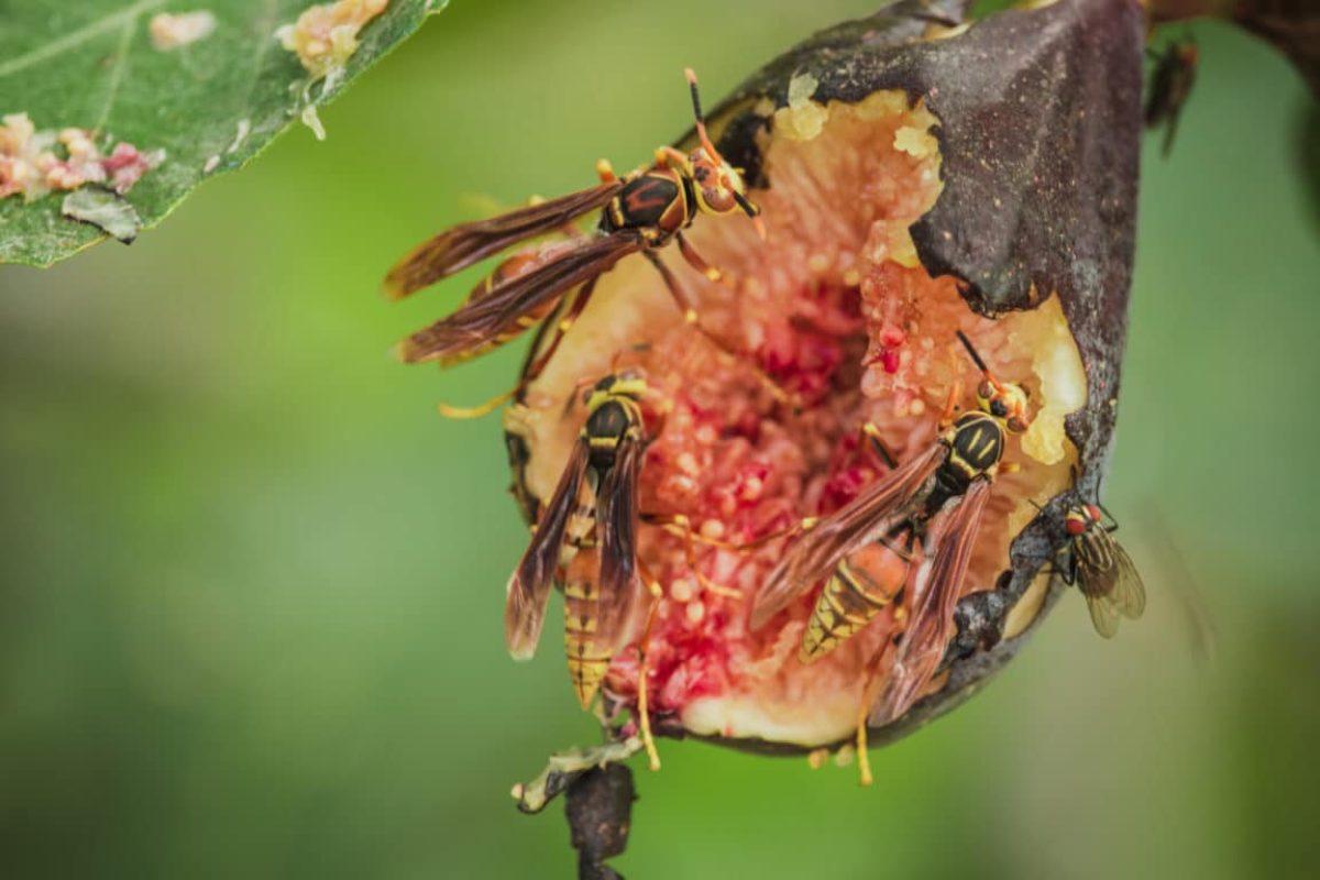 pollinisation figuier